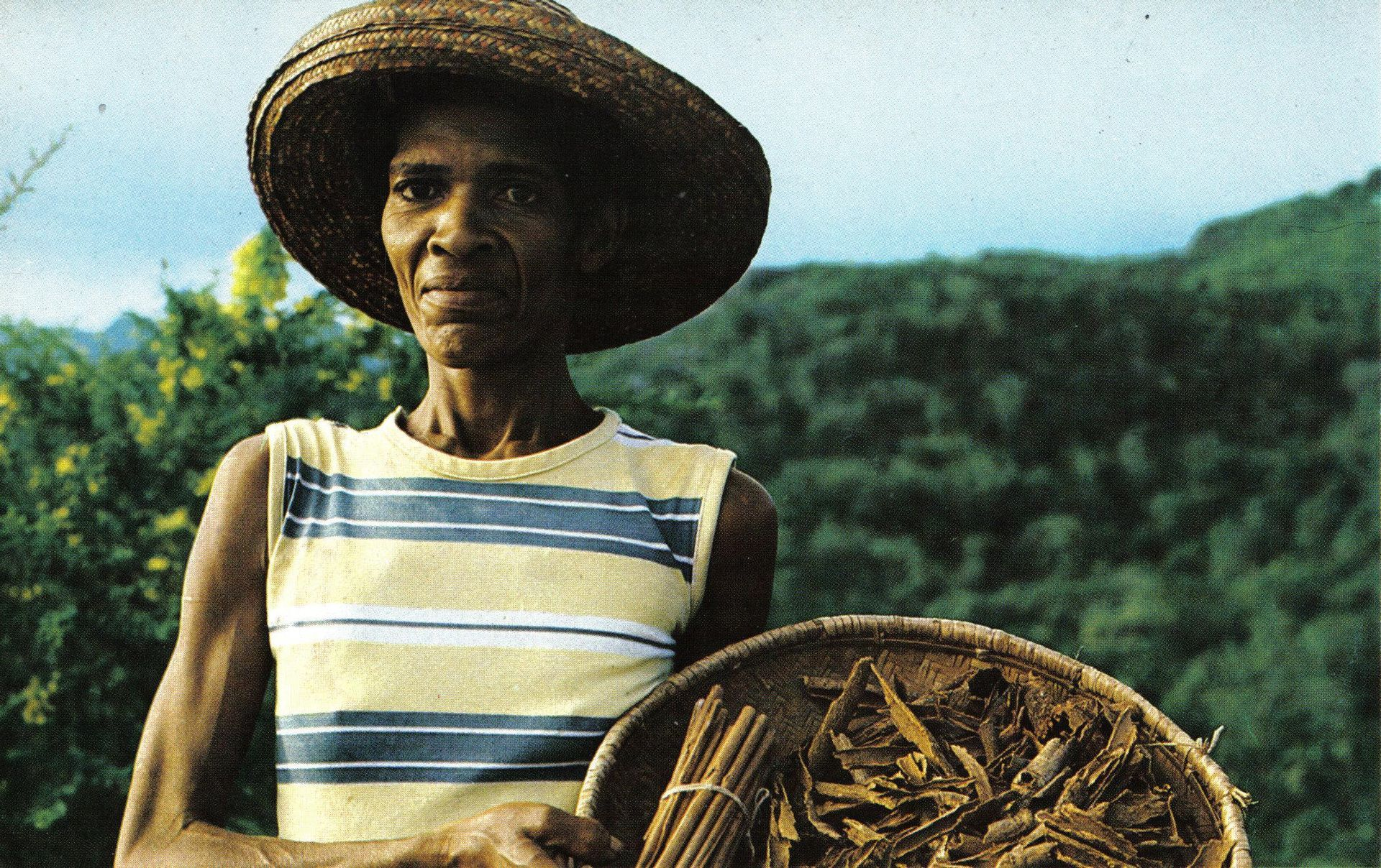 1920px-Cinnamon_quill_maker_Seychelles