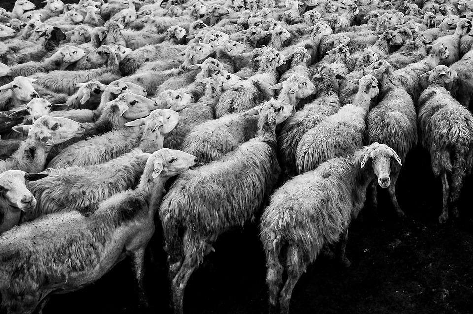 sheep-1148999_960_720
